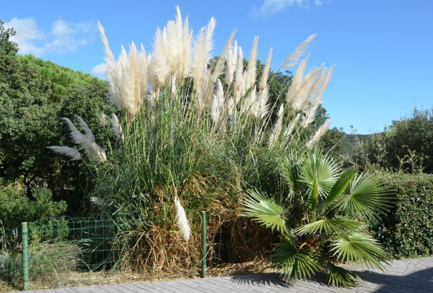 A hierba pampa
